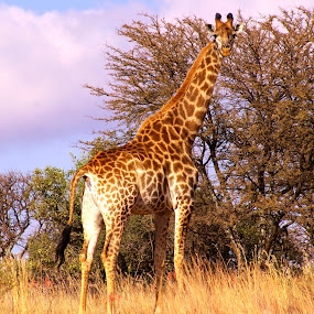 Standing tall by Adell du Plessis - Animals Other Mammals ( nature, giraffe, outdoor, wildlife, game )