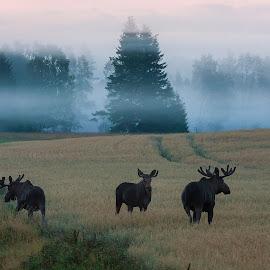 moose on the loose by Per-Arne Emanuelsson - Animals Other ( älg, vilda djur, dimma )