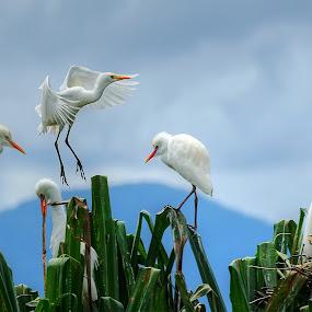 Bagau 2 by Aan Unchu - Animals Birds