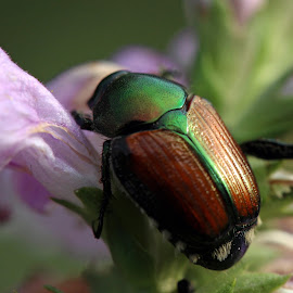 Japanese Beetle by Judy Florio - Animals Insects & Spiders ( macro, echo lake park, nj, insects, beetle )