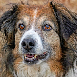 English Shepherd Dog Portrait - 6090 by Twin Wranglers Baker - Animals - Dogs Portraits (  )