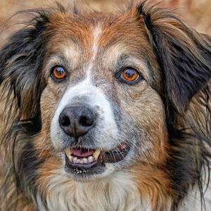 English Shepherd Dog Portrait - 6090.jpg