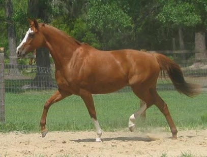Thoroughbred Horses Wallpapers - screenshot