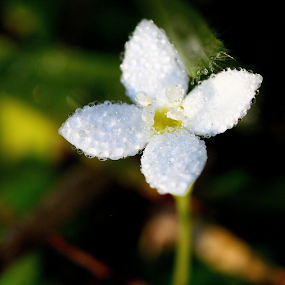 Wet and wild by Ivy Luna - Nature Up Close Other plants ( #flower, #water, #white, #after rain, white flower,  )