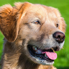 Golden Retriever by Dave Lipchen - Animals - Dogs Portraits ( golden retriever )