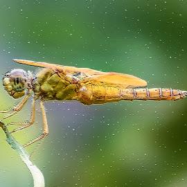 Dragonfly by Dawn Hoehn Hagler - Digital Art Animals ( dragonfly, tucson, mosaic tiles, arizona, insect, photoshop, garden, reid park rose garden, digital art )