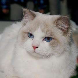 by Sámuel Zalányi - Animals - Cats Portraits ( wcf, cat, temesvár, bánát, white )