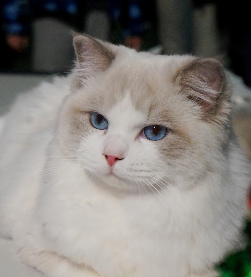 by Sámuel Zalányi - Animals - Cats Portraits ( wcf, cat, temesvár, bánát, white,  )