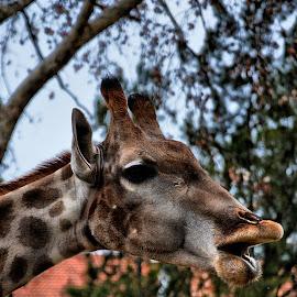 Girafa by Luis Almeida - Animals Other ( animals, zoo, garden )