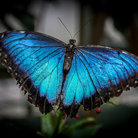 Blue Butterfly by Ruth Sano - Animals Insects & Spiders ( colorful, blue, photoraphy, butterfl )
