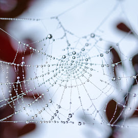Spiderweb by Matěj Vosk - Nature Up Close Webs ( water drops, nature, sigma 105, web, spider web, close )