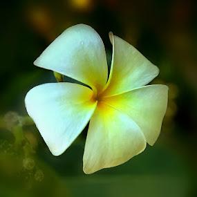 kamboja by Farid Wazdi - Nature Up Close Flowers - 2011-2013