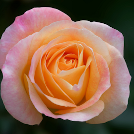 Rose 9927 by Raphael RaCcoon - Flowers Single Flower