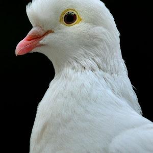 White pigeon processed Jan 8.jpg