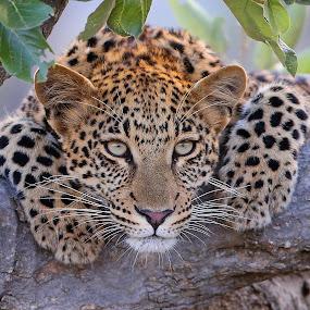 Relaxed! by Anthony Goldman - Animals Lions, Tigers & Big Cats ( big cat, wild, sabi sands, tree, femlae daughter of mashaba, wildlife, londolozi, cub, leopard,  )