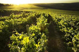 PARTE DE los viñedos del Valle de Colchagua, cuna de la Carménère.
