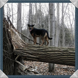 Timber Wolf by Anthony Carlo - Animals - Dogs Portraits