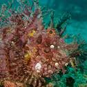 Weedy Scorpionfish/Rhinopias