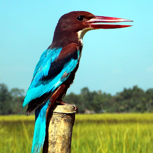 Kingfisher 2.jpg