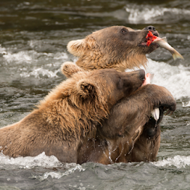 One bear holds salmon away from another by Nick Dale - Animals Other Mammals ( water, grizzly, bear, animals, fish, waterfall, alaska, feeding, brooks falls, wildlife, katmai, brooks camp, brown bear, predator, falls, salmon, eating, fishing, catching, grizzly bear, river )