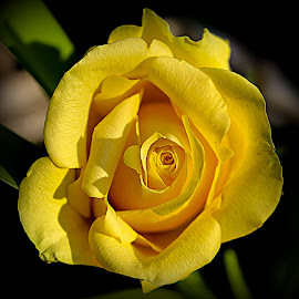 Yellow Rose by Krishna Murukutla - Flowers Single Flower ( yellow rose, nature, closeup, portrait, flower )