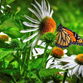 Monarque sur Échinacée by Paul Bélair - Nature Up Close Flowers - 2011-2013 ( monarque échinacée, fleurs )