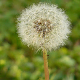 Dandelion by Jonna Flynn - Nature Up Close Other plants ( up close, jacksonville, dandelion, lawn, nature, green, florida, weed )