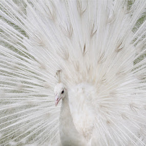 White Peacock by Joseph Basukarno - Animals Birds ( birds, peacock, animal )