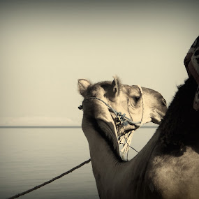 The camel and The sea by Mahmoud Abdel-mawla - Animals Other