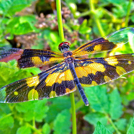 Dragonfly#3 by Asif Bora - Instagram & Mobile Other (  )