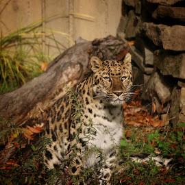 by Amanda Szczepanski - Animals Lions, Tigers & Big Cats