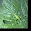 Speckled Bush-cricket