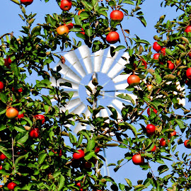 Apple Of My Eye by Howard Sharper - Food & Drink Fruits & Vegetables ( apple tree, orchard, farmland, apples, agricultural )