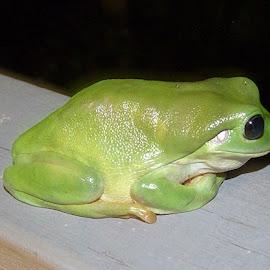 Green Tree Frog by Kathryn Vegera - Animals Amphibians ( frog, green, tree frog, green tree frog, amphibians )