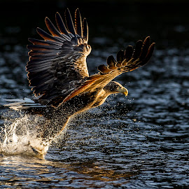 White-tailed eagle by Dennis Hallberg - Animals Birds ( bird, white-tailed eagle, bird of prey, eagle, sea eagle )