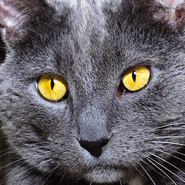 Ved  by Michael Cowan - Animals - Cats Portraits ( cat, shelter, adopt )