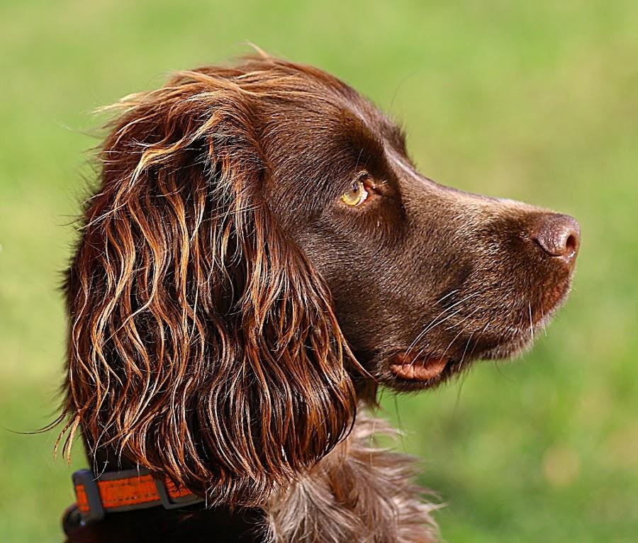 Revel's Profile by Chrissie Barrow - Animals - Dogs Portraits ( roan, cocker spaniel, pup, portrait, ear, pet, fur, brown, dog, nose, tan, profile, eye )