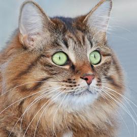Regal by Mia Ikonen - Animals - Cats Portraits ( kurilian bobtail, beautiful, finland, cute, expressive )