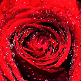 rose by Chris DiNapoli - Nature Up Close Flowers - 2011-2013