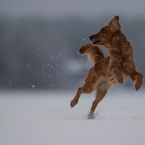 Myra by Ronnie Bergström - Animals - Dogs Running ( sweden, dogs, winter, nature, snow, myra, landscape, dog, jump )