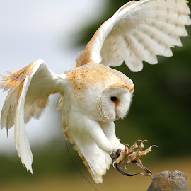 Barn Owl landing by Steve Diamond - Animals Birds ( bird, landing, owl, raptor, animal,  )