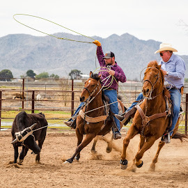 Roping by Dave Lipchen - Sports & Fitness Rodeo/Bull Riding ( roping )
