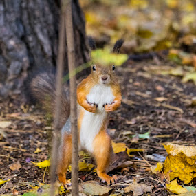 Squirrel by Alexey Petrov - Animals Other Mammals