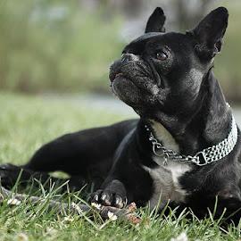 Shira by Stephanie Degen - Animals - Dogs Portraits ( water, lying, f2.8, 2.8, spring, sun, portrait, d300s, bully, bulldog, basel, pet, frenchi, outdoor, switzerland, schweiz, nikon, dog, 24-70mm, animal )