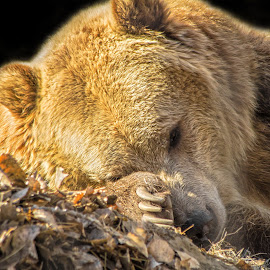 Resting Up Before Hibernation  by Julie Wooden - Animals Other Mammals ( bear, north dakota, nature, autumn, sunny, fall, outdoors, wildlife grizzly bear, brown, dakota zoo, animal, enviromental portrait )