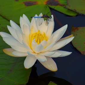 Dragonfly on a Water Lily by Bill Martin - Flowers Flowers in the Wild ( water, nature, insect, dragonfly, water lily, flower,  )