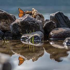 Monarch by Alain Caron - Nature Up Close Rock & Stone ( butterfly, monarch, rock, beach, morning )