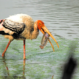 Catch of the day by Pravine Chester - Animals Birds ( wading bird, stork, animals, photograph, nature, painted storks, birds )