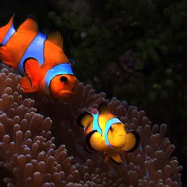 Clown Fishes by Yanti Hadiwijono - Animals Fish