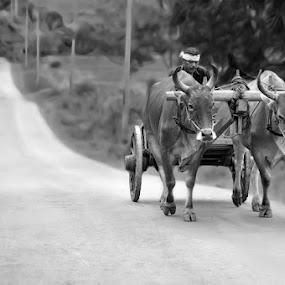 Traditional Cart by El Baim as TOMMY AR - Transportation Other ( gerobak, sapi, cow, cart, telaga, people, man, gorontalo,  )